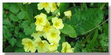 jagorcevina cvet